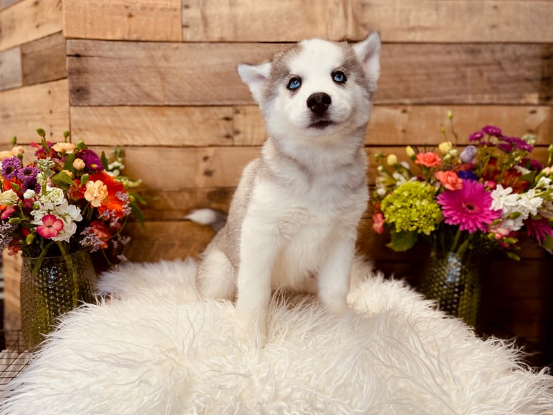 Siberian Husky – Ginger
