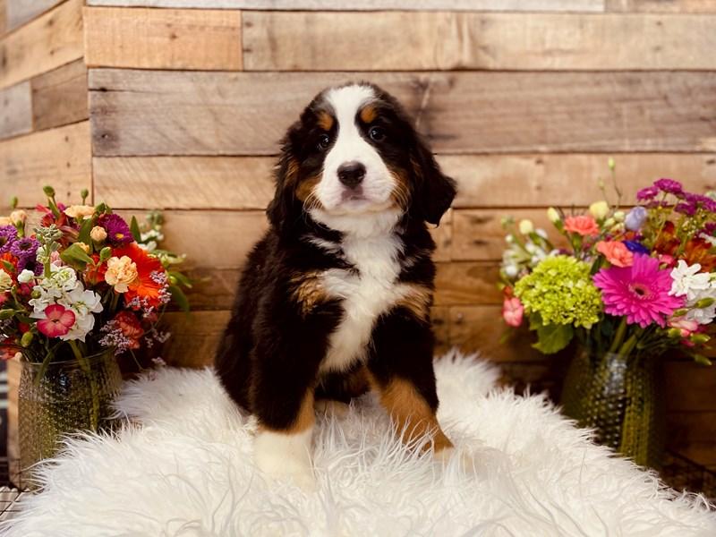 Bernese Mountain Dog-Female-Tri-Colored-3040945-The Barking Boutique