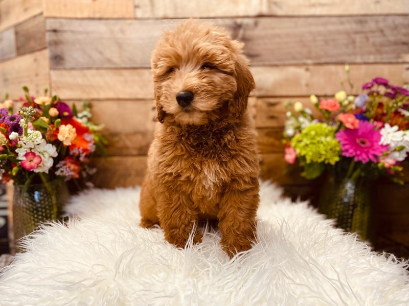 Goldendoodle Mini-Male-Red-3040923-The Barking Boutique