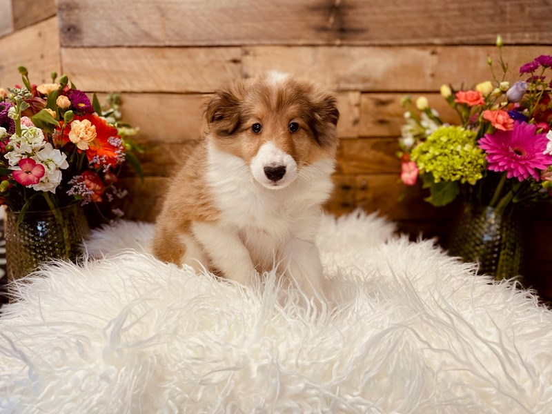 Shetland Sheepdog-Male-Sable / White-3040898-The Barking Boutique
