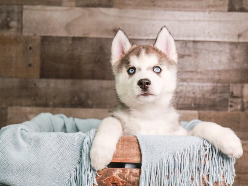 Siberian Husky – Charm