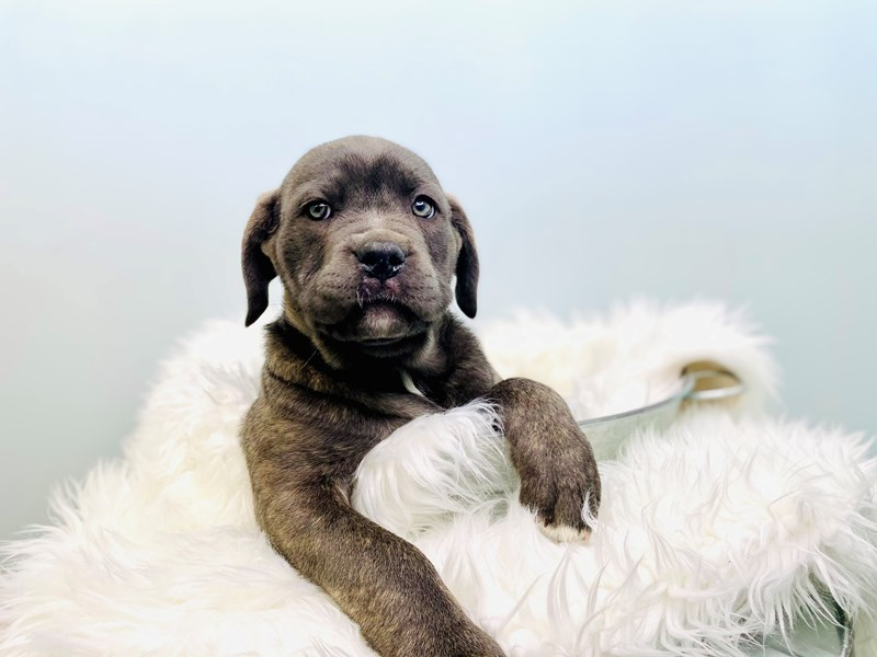 Cane Corso-Female-Blue-3046853-The Barking Boutique