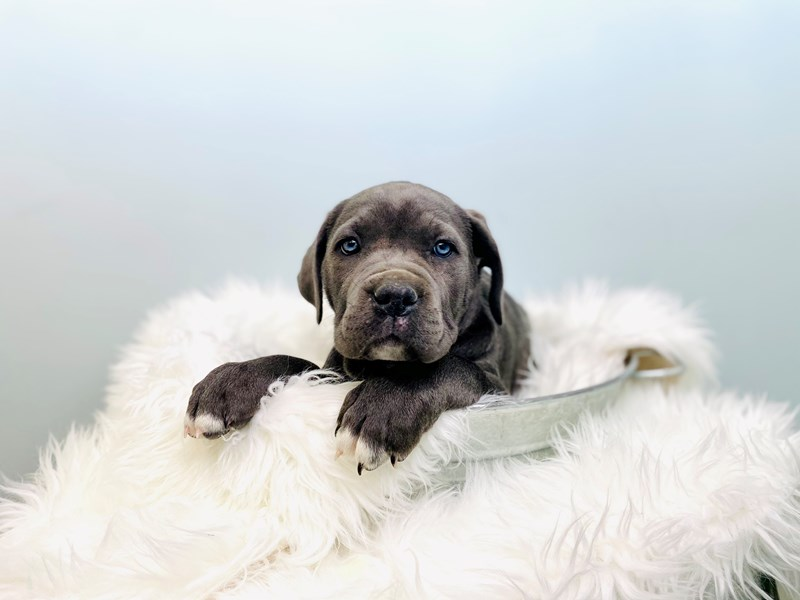 Cane Corso-Female-Blue-3046876-The Barking Boutique