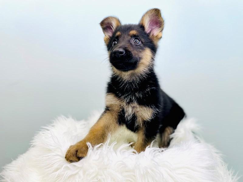 German Shepherd-Female-Black & Tan-3047040-The Barking Boutique