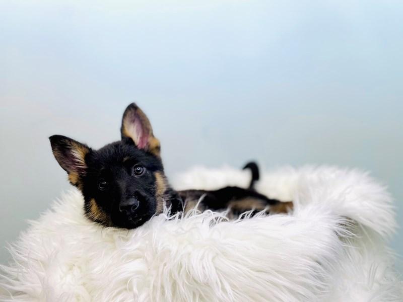 German Shepherd – Colby Jack