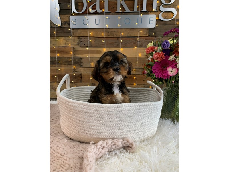 F1b Cavapoo-Female-Black Sable-3047878-The Barking Boutique