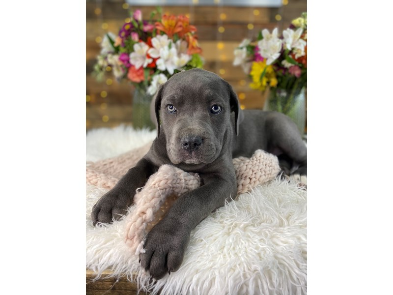 Cane Corso-Female-Blue-3047585-The Barking Boutique
