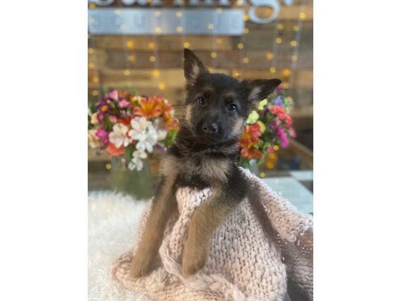 German Shepherd-Male--3047837-The Barking Boutique