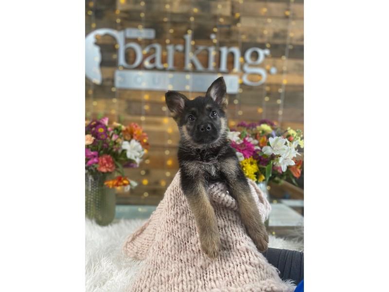 German Shepherd-Female--3047831-The Barking Boutique