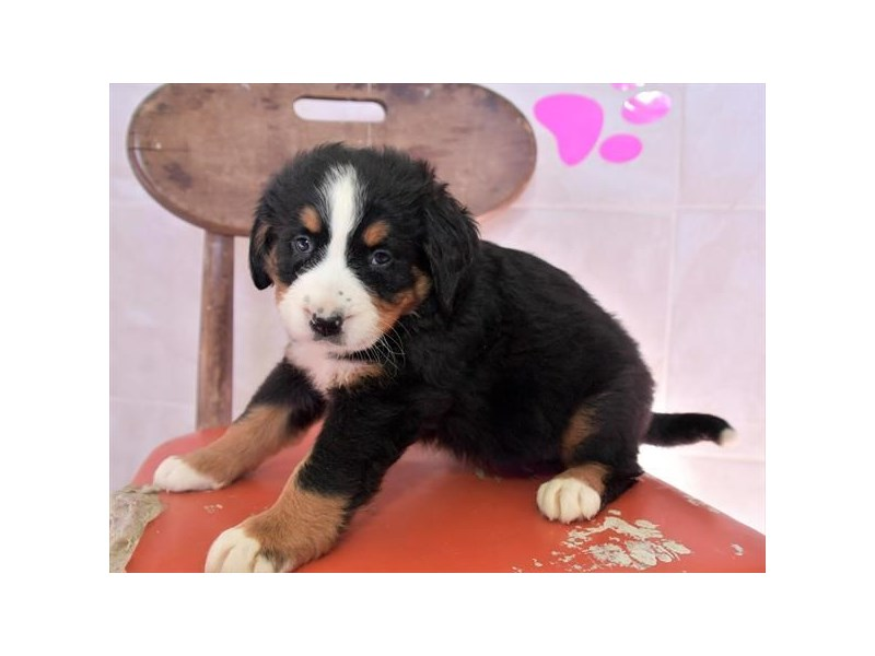 Bernese Mountain Dog-Female-Tri-Colored-3051610-The Barking Boutique