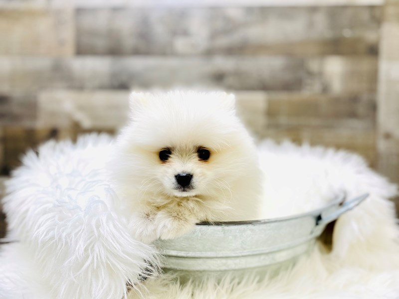 Pomeranian-Male-White-3051608-The Barking Boutique