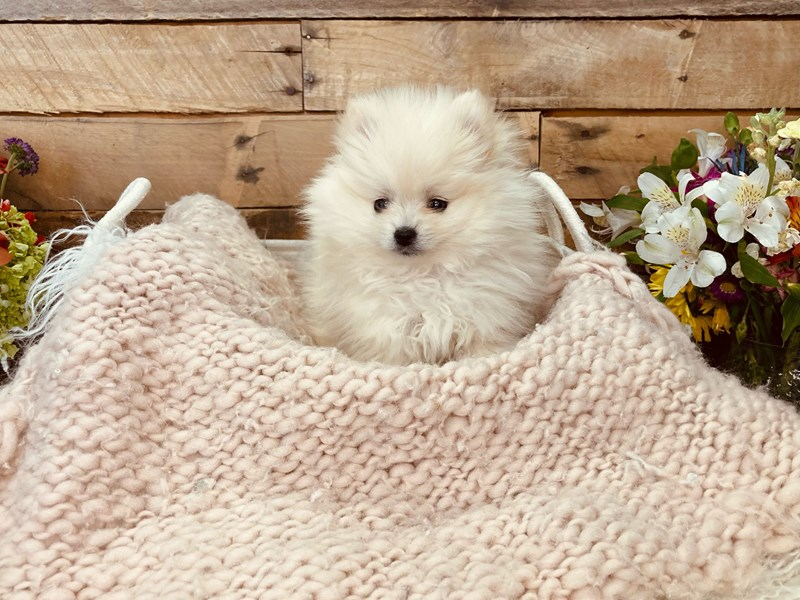 Pomeranian-Female-Cream-3051607-The Barking Boutique