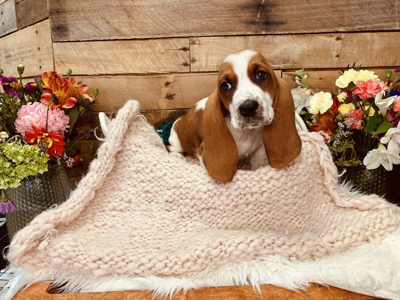 Basset Hound-Male-Red / White-3051373-The Barking Boutique