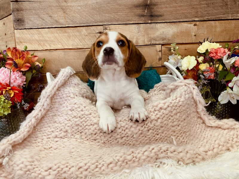 Beagle-Female-Tri-Colored-3051605-The Barking Boutique