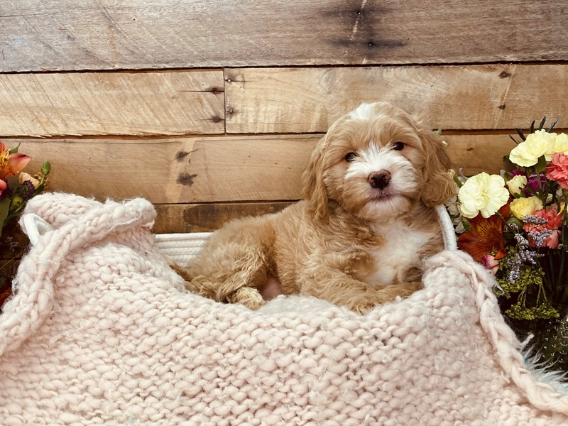 Goldendoodle Mini 2nd Gen-Male-Apricot-3051383-The Barking Boutique