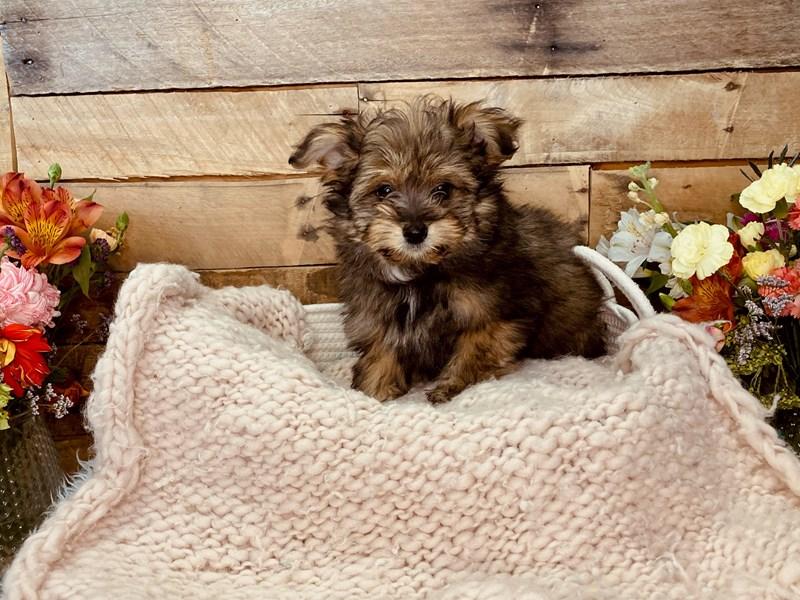 Pomapoo-Female-Black / Brown-3051386-The Barking Boutique