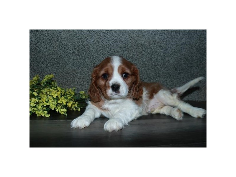 Cavalier King Charles Spaniel-Male-Blenheim-3062179-The Barking Boutique