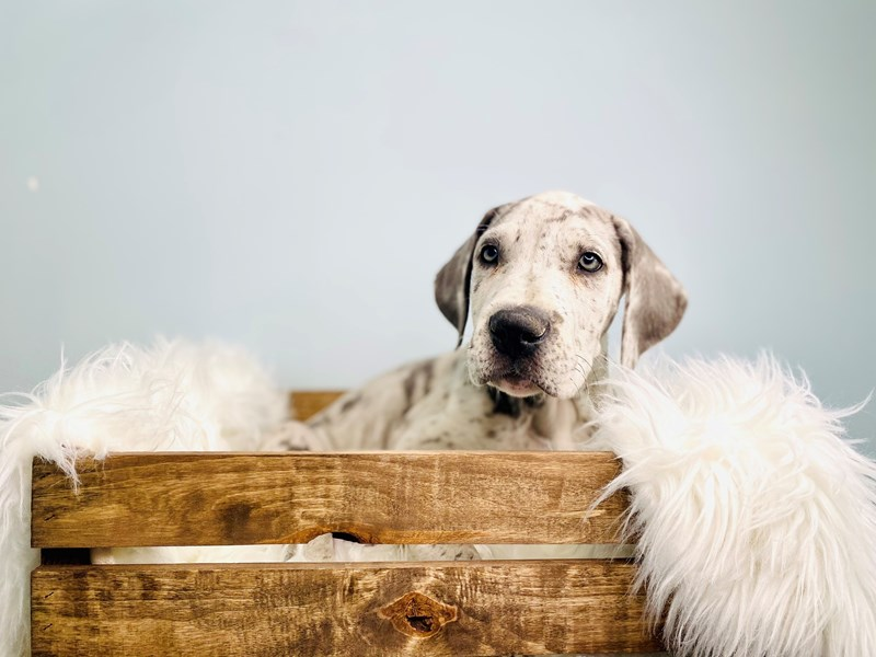 Great Dane-Male-Blue Merle-3058966-The Barking Boutique