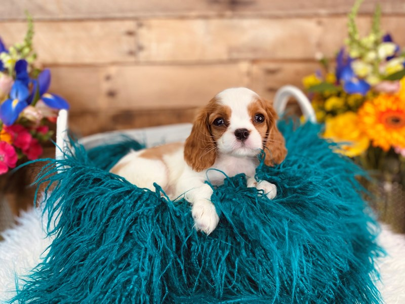 Cavalier King Charles Spaniel-Female-Blenheim-3062170-The Barking Boutique