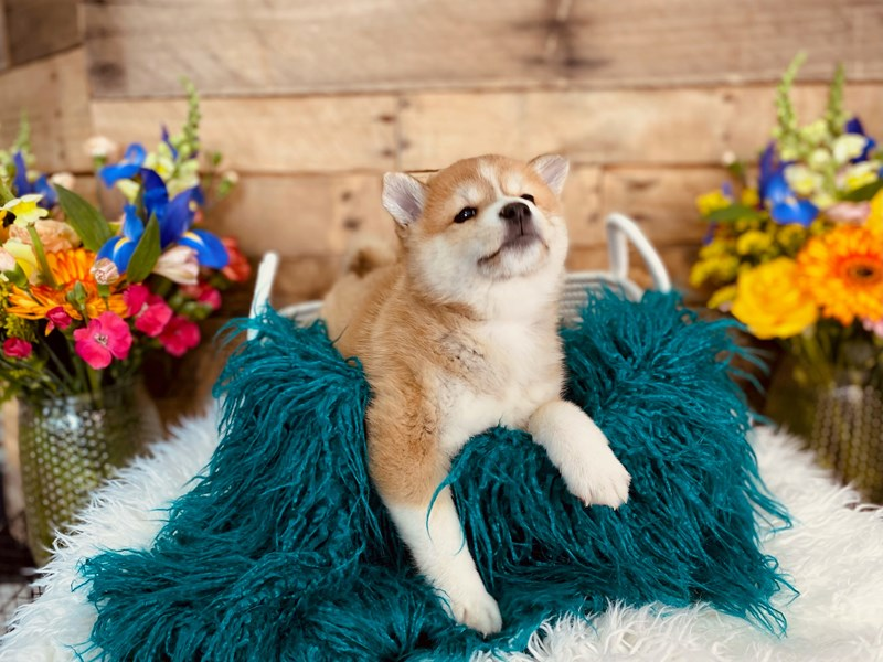 Shiba Inu-Female-Red-3062162-The Barking Boutique