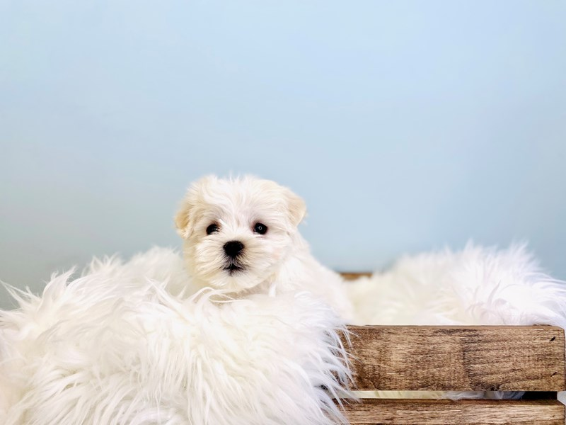 Maltese-Male-White-3031425-The Barking Boutique