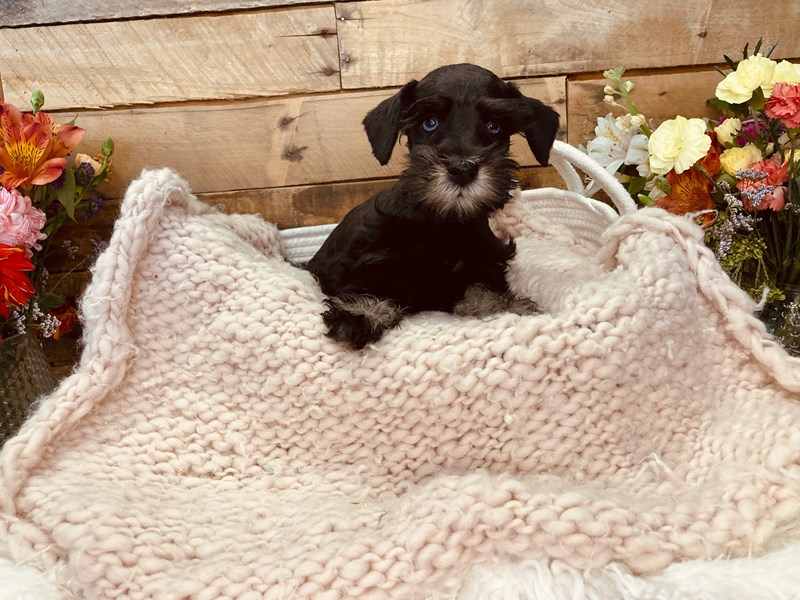 Miniature Schnauzer-Male-Black-3051378-The Barking Boutique