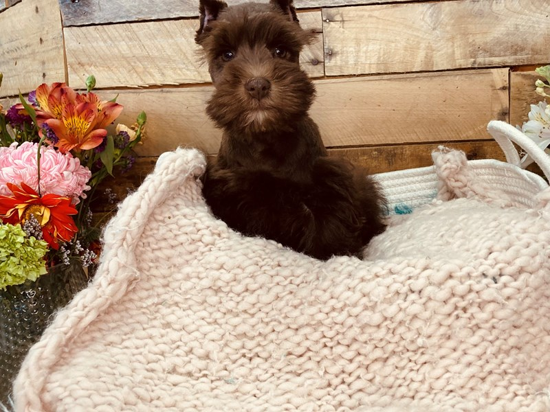 Miniature Schnauzer-Male-Chocolate-3051602-The Barking Boutique