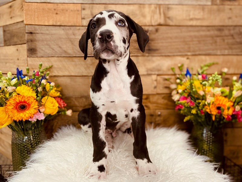 Great Dane-Male-Harlequin-3058909-The Barking Boutique