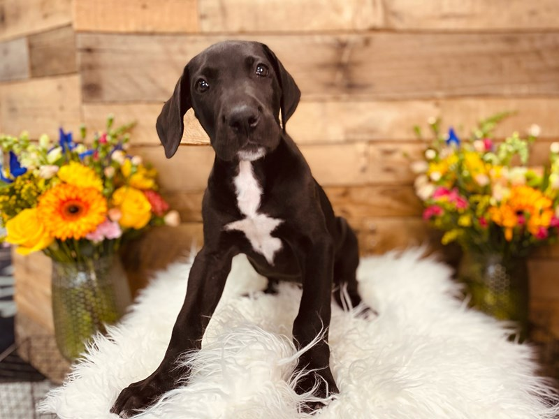 Great Dane-Female-Black and White-3058916-The Barking Boutique