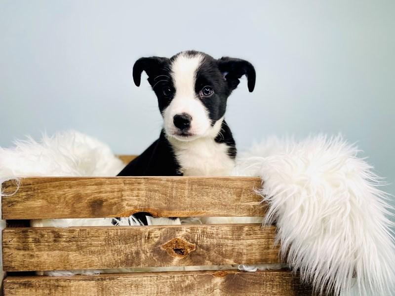 Bernese Mountain Dog/Border Collie-Male-Black & White-3059159-The Barking Boutique