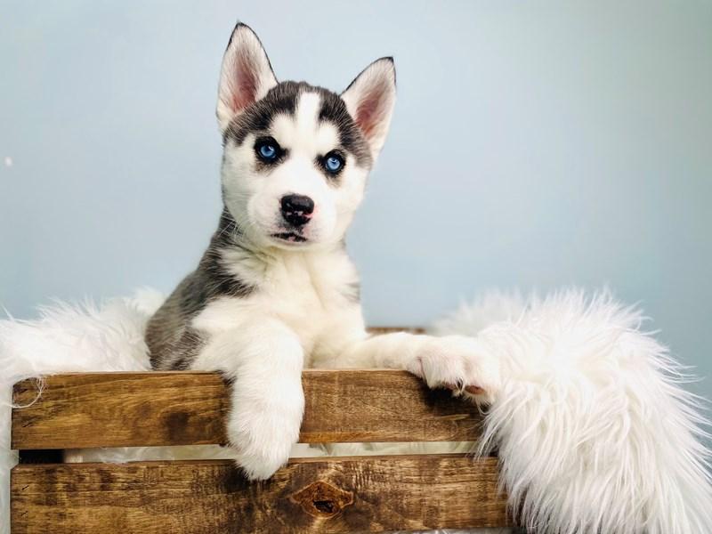 Siberian Husky – Wolf