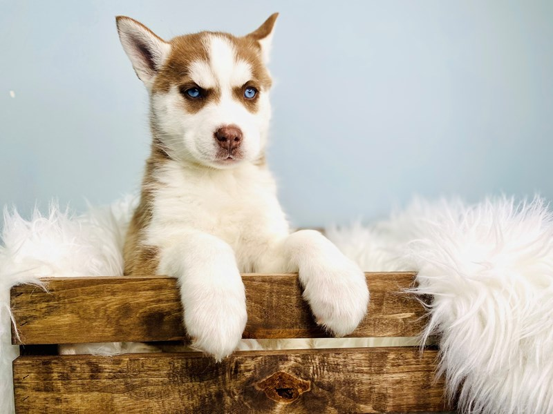Siberian Husky – Mouse