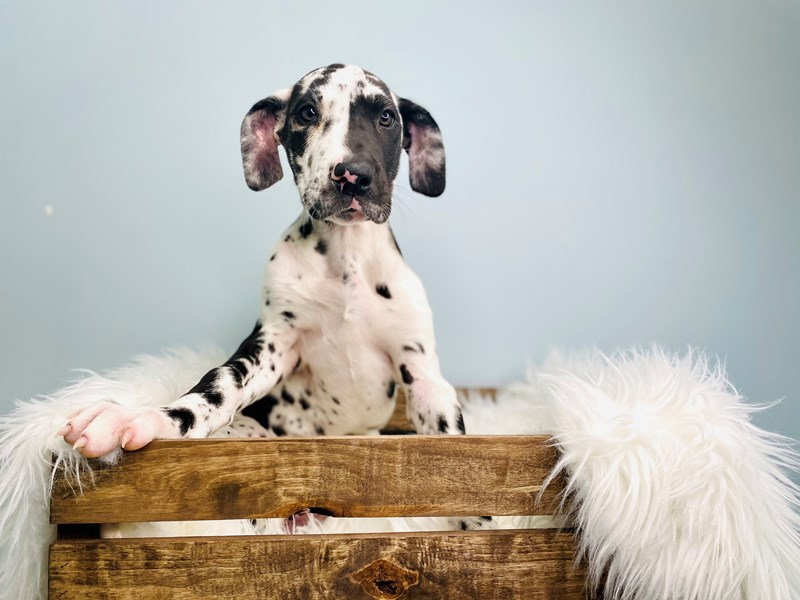 Great Dane-Female-Harlequin-3059013-The Barking Boutique
