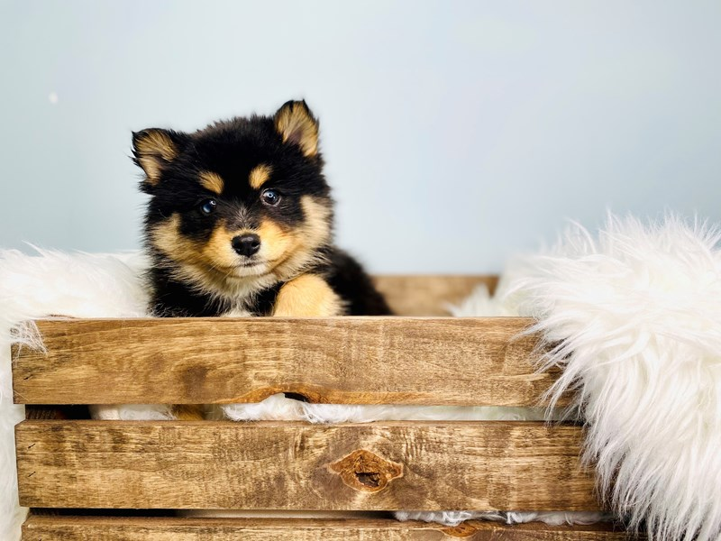 Pomsky 2nd Gen-Female-Black / White-3062207-The Barking Boutique