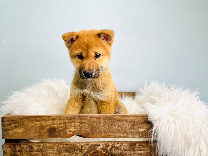 Shiba Inu-Male-Red-3051603-The Barking Boutique