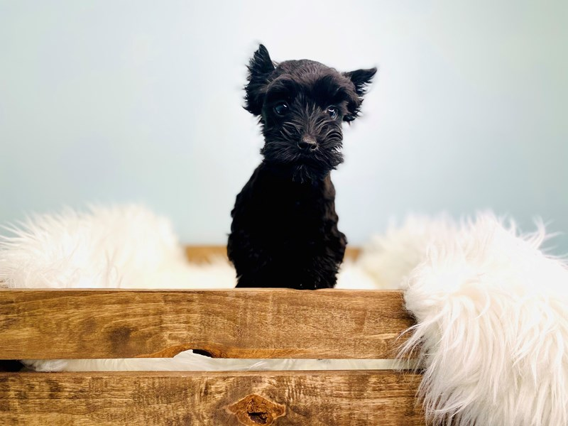Miniature Schnauzer-Female-Black-3051604-The Barking Boutique