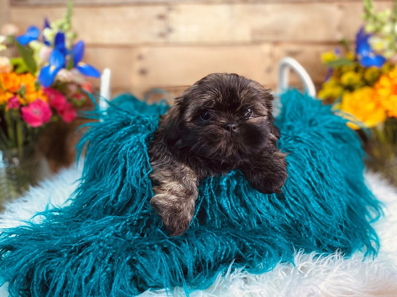 Shih Tzu-Male-Brindle-3062210-The Barking Boutique