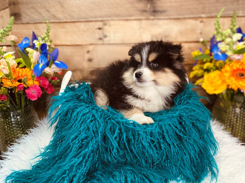 Pomsky 2nd Gen – Stitch