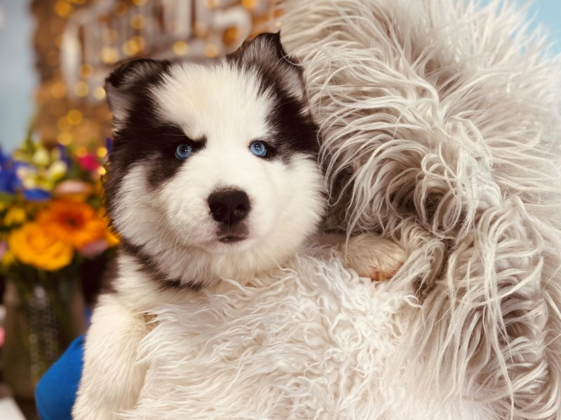 Siberian Husky-Female-Black / White-3062165-The Barking Boutique