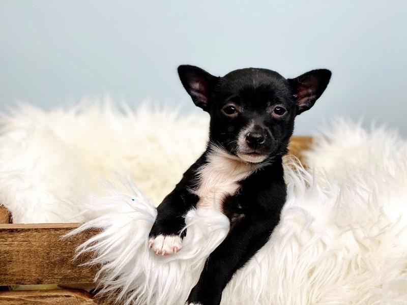 Pomchi-Male-Black & White-3068643-The Barking Boutique