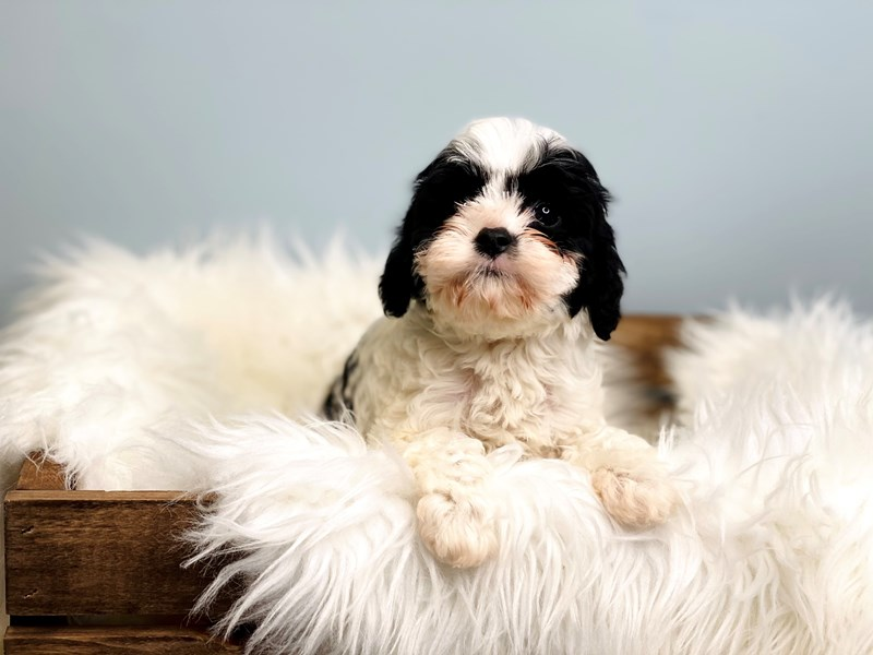 Cavapoo-Female-Black & White-3069710-The Barking Boutique