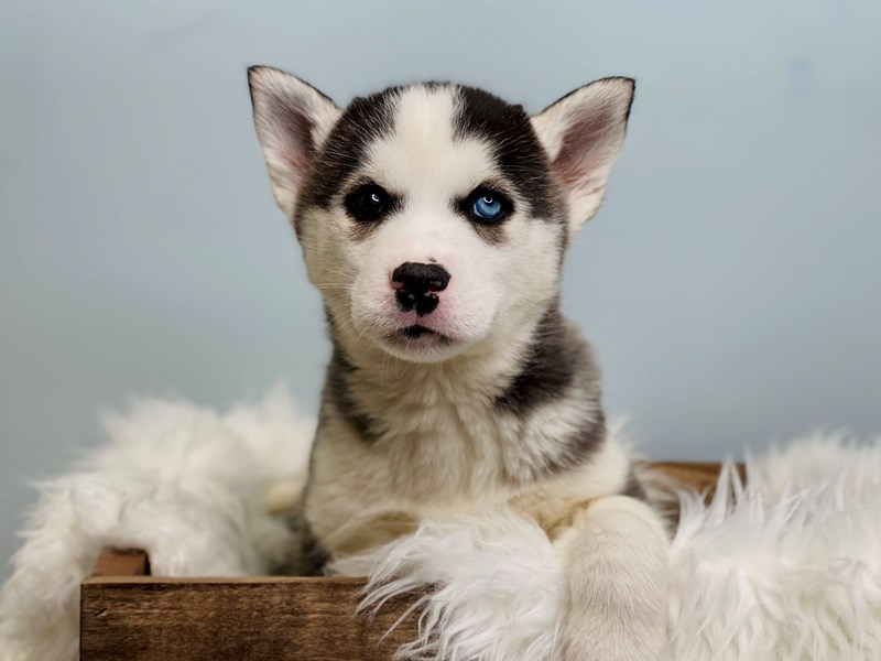 Siberian Husky-Male-Black & White-3069315-The Barking Boutique
