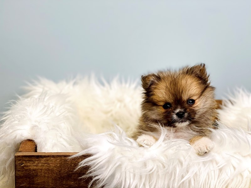 Pomeranian-Male-Chocolate-3069151-The Barking Boutique