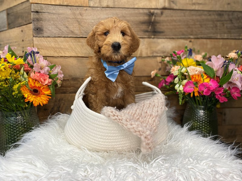 F1B Goldendoodle-Male--3069219-The Barking Boutique