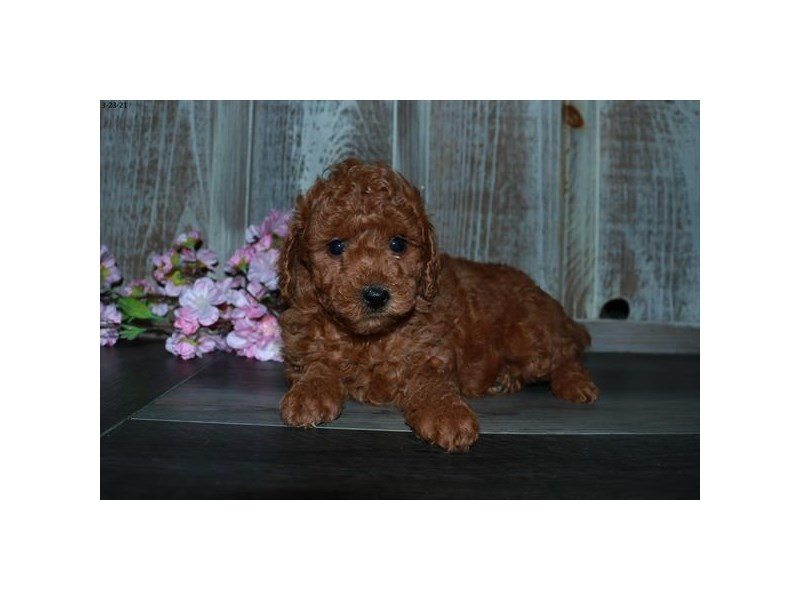 Poodle-Female-Red-3073080-The Barking Boutique