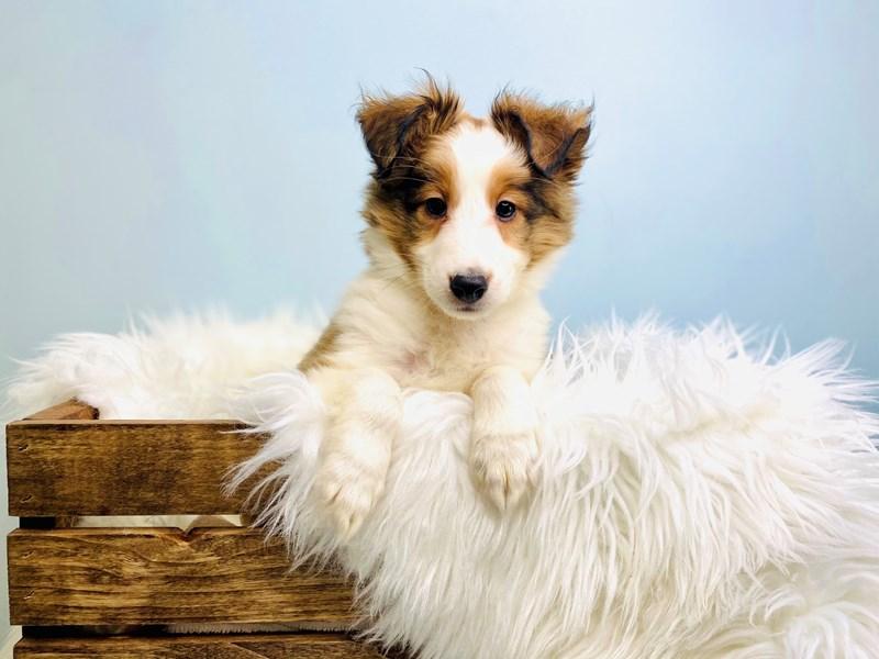 Shetland Sheepdog-Male-Sable Merle-3073078-The Barking Boutique