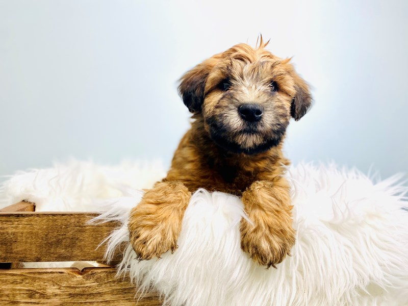 Soft Coated Wheaten Terrier-Male-Wheaten-3073074-The Barking Boutique