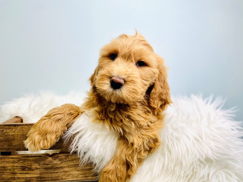 Goldendoodle 2nd Gen-Female-Cream-3073072-The Barking Boutique