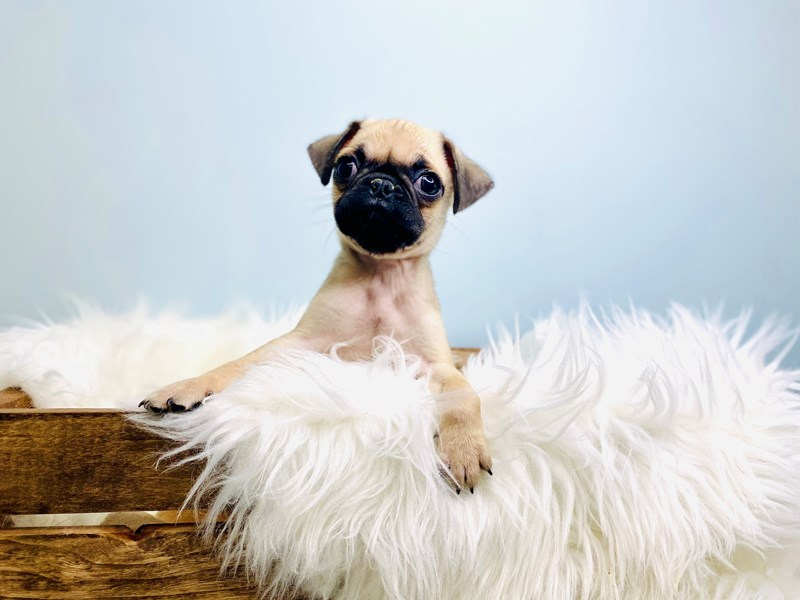 Pug-Male-Fawn-3073079-The Barking Boutique