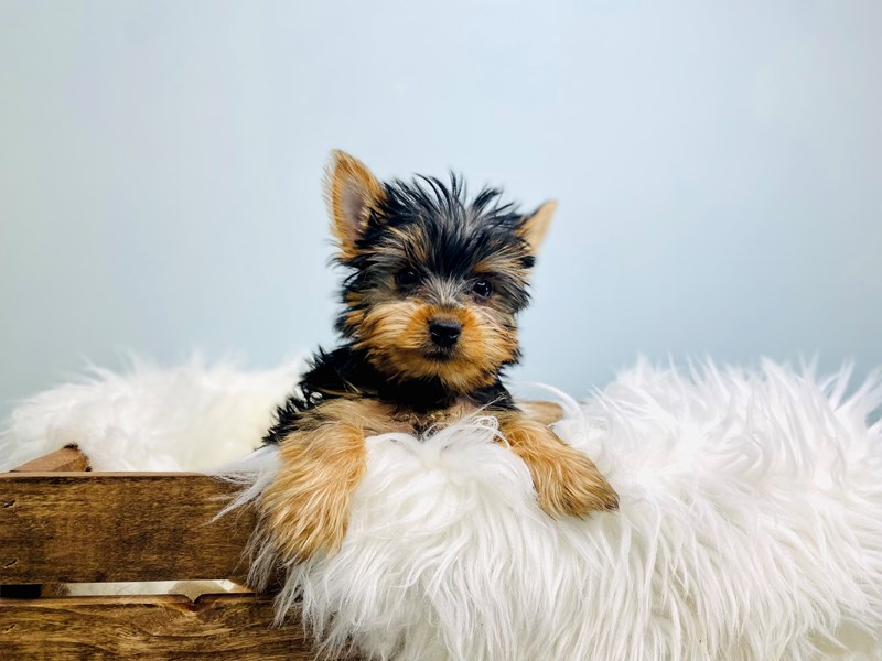 Yorkshire Terrier-Male-Black / Tan-3073085-The Barking Boutique